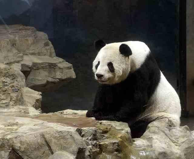 Panda on rocks