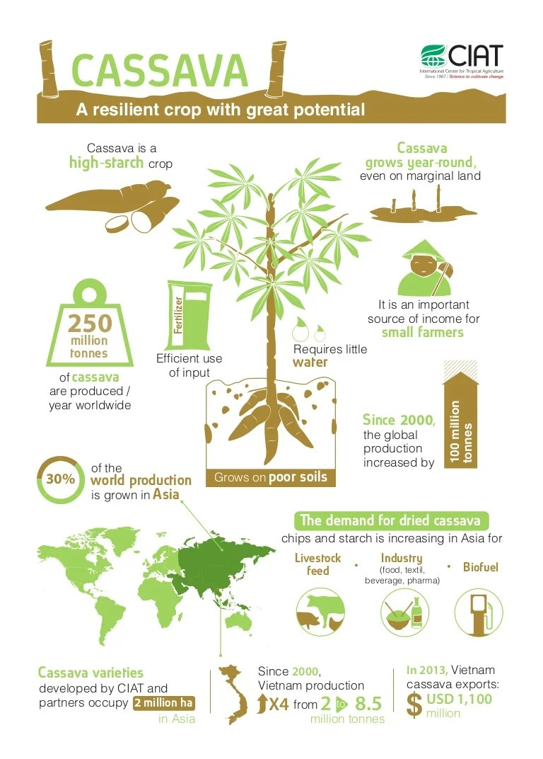 Infographic - Cassava - A resilient crop with great potential