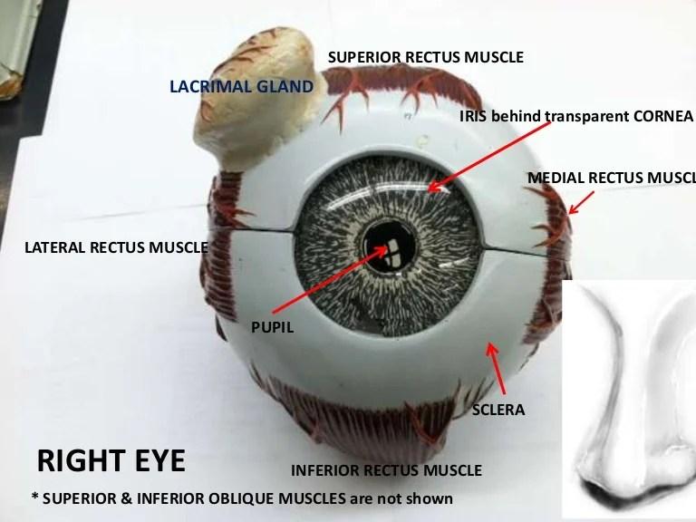 Eye models for review