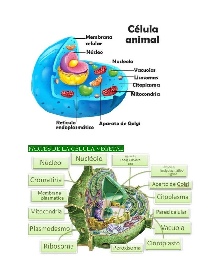 Partes Funciones Celula Y Vegetal