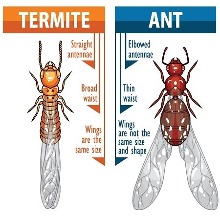 Ant vs Termite Comparison for Difference