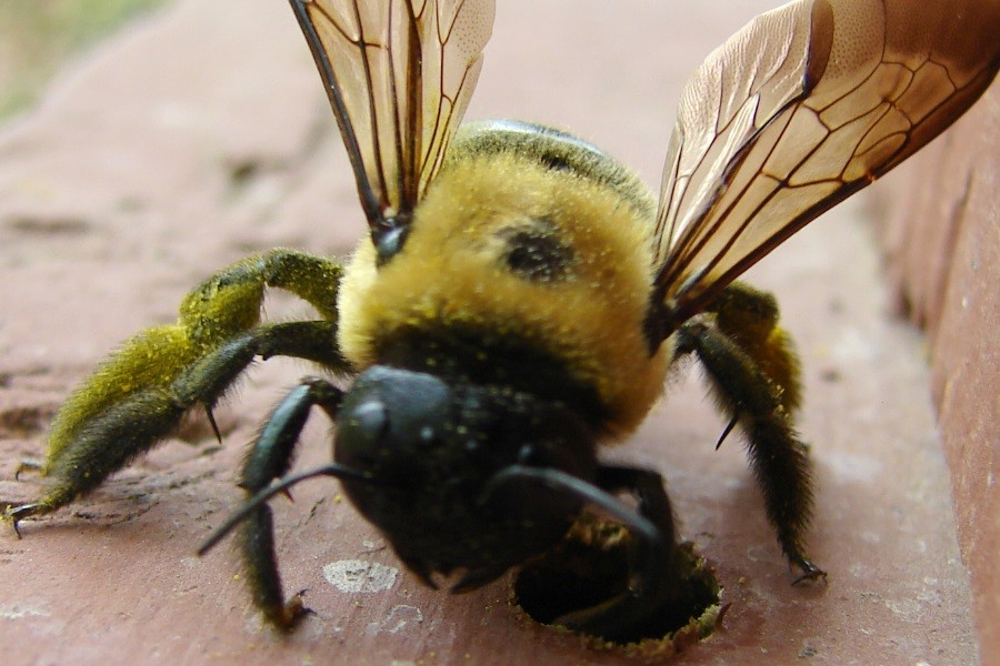 Borer Bee