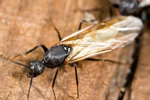 Flying Ant Up Close