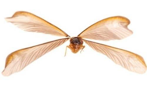 Flying Termite Wings