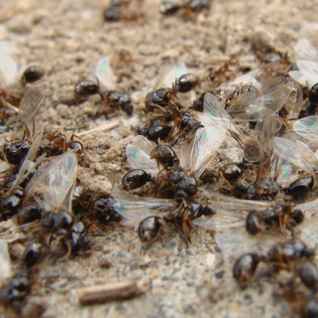 Flying Ants dying on the ground