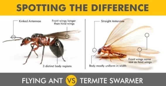 Flying Ants vs Termites Comparison