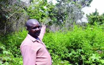 The Indian weed choking Mount Kenya forests
