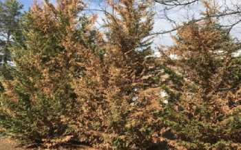 Agony as cypress trees worth millions dry from aphid attack