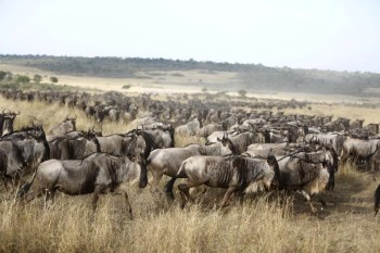 Balala orders removal of camp after wildebeest blocked from crossing Mara River