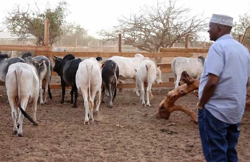 Photos of Aden Duale's beef feedlot in Garissa Town - Entertainment ...