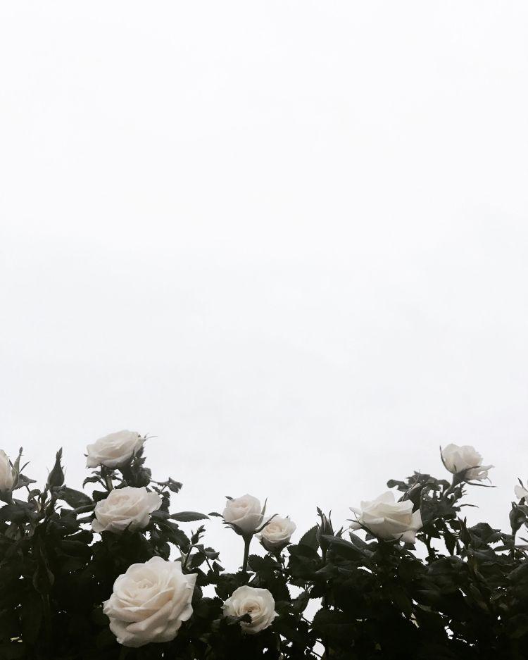 Aesthetic Rose Wallpaper White