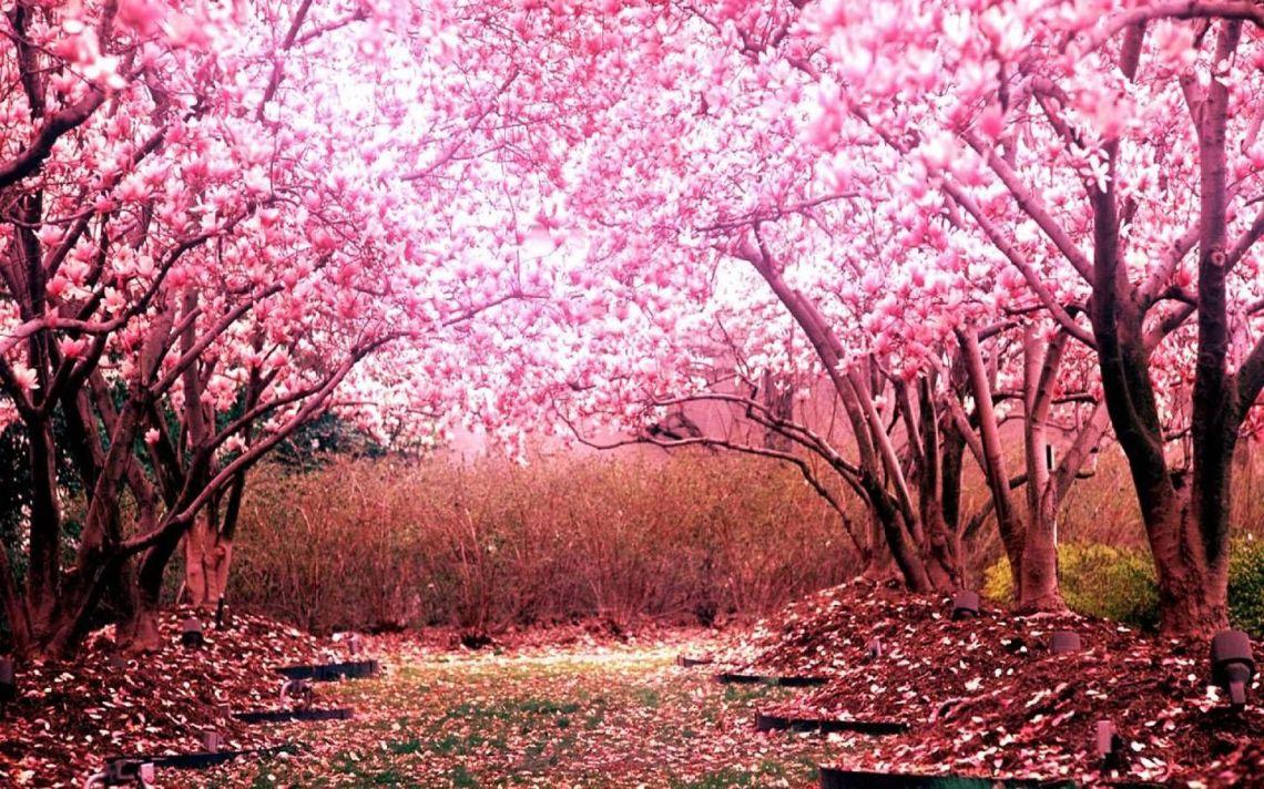 Sakura Wallpaper For Laptop