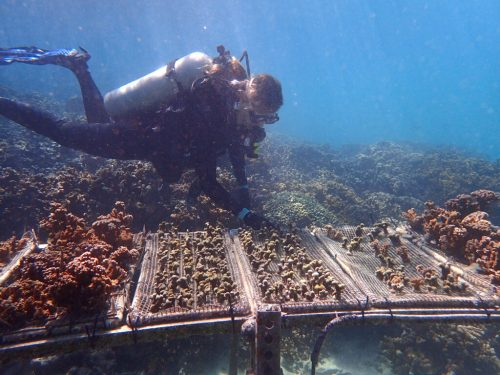 Transplanted Bleaching-Resistant Coral Retain Their Resistance To Heat
