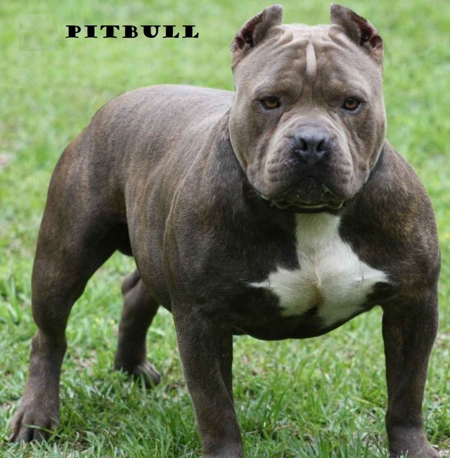 pitbull - the most dangerous dog breed in the world! — steemit