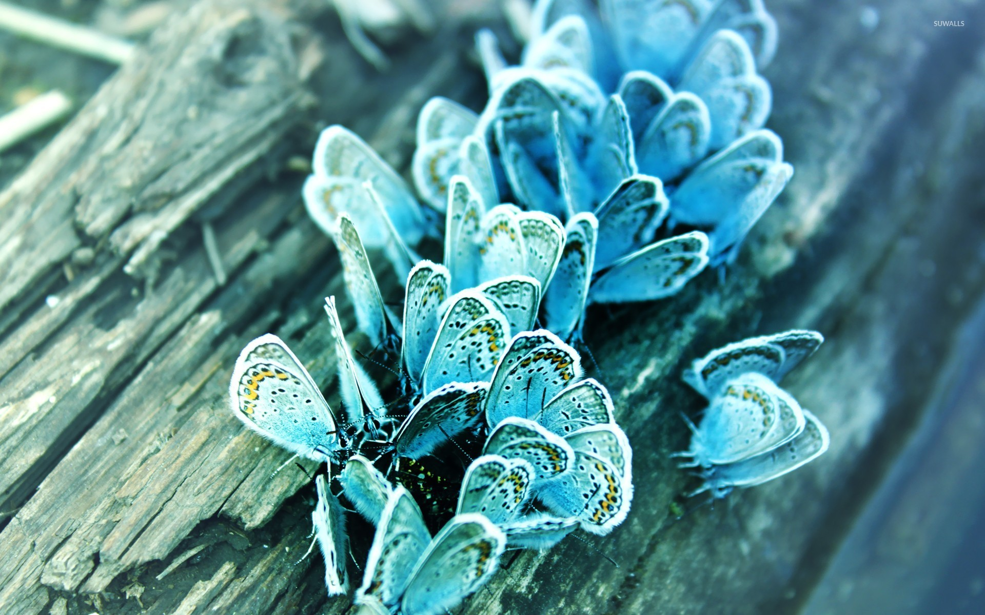 Blue butterflies wallpaper   Animal wallpapers    20741 Blue butterflies wallpaper