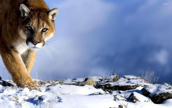 Cougar in the snow wallpaper - Animal wallpapers - #53338