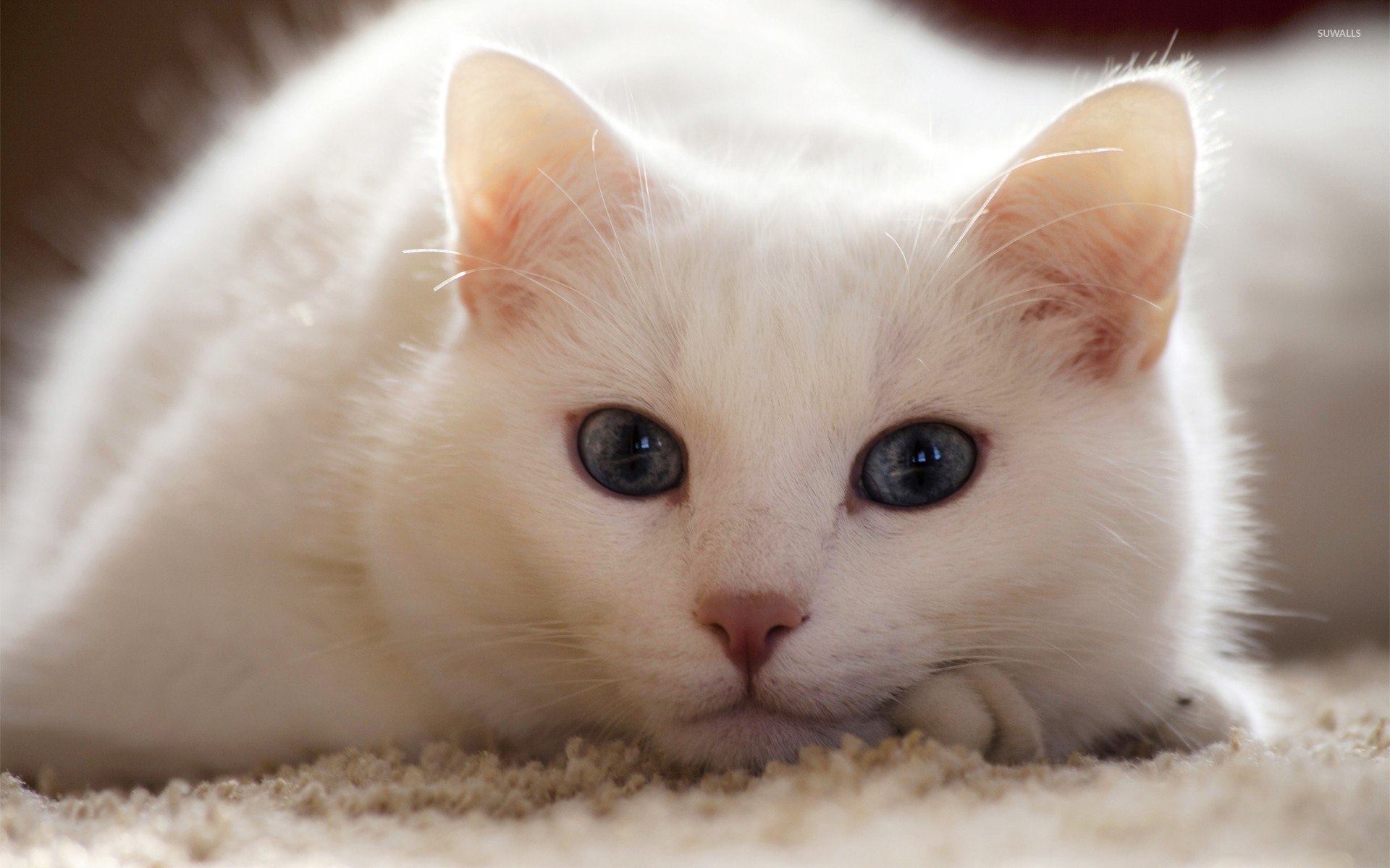 white cat wallpaper - animal wallpapers - #26151
