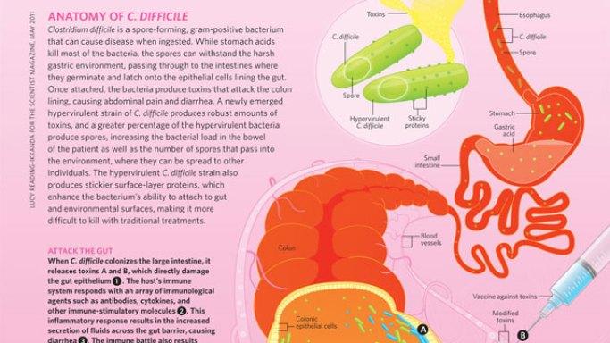 Risultati immagini per c. difficile bacteria