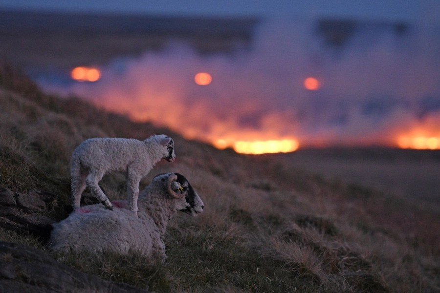 A young sheep stands on top of an older one on a hillside above a fire.