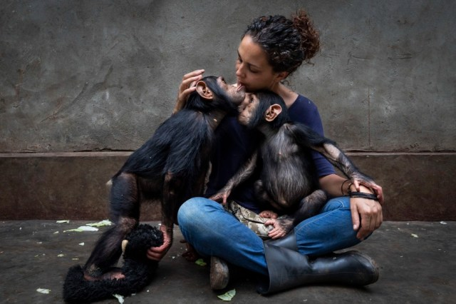A person sits on the floor of a room, tenderly holding two young chimpanzees.