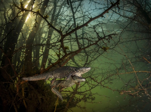 Two large newts swim among branches, seen underwater.