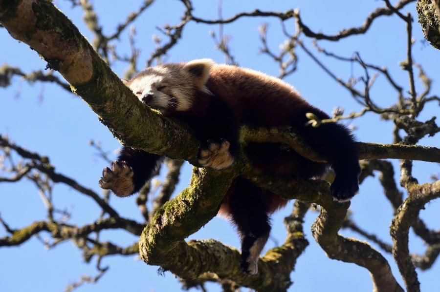 A red panda rests on a tree branch.