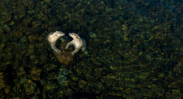 Two polar bears rest against a large rock while swimming, viewed from above.