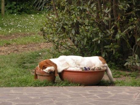 http://thebarkpost.com/30-dogs-awkwardly-sleeping/basset-hound-sleeping-in-flower-pots-part-dog-part-gravy/