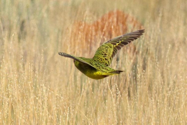 This is the first photograph of a live night parrot, taken in Western Australia in March 2017. Credit: Bruce Greatwitch