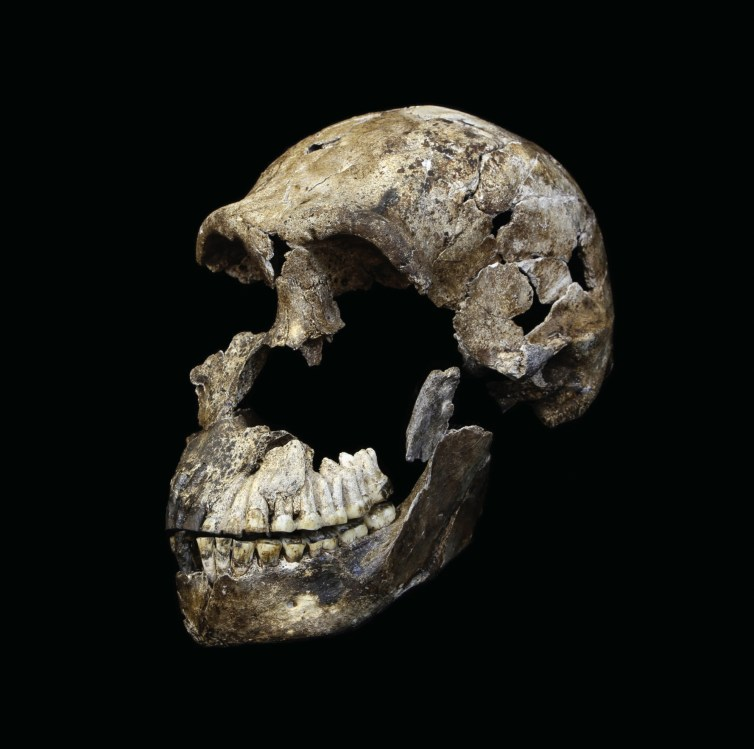 """Neo"" skull of Homo naledi from the Lesedi Chamber. Credit: John Hawks/Wits University/The Conversation"