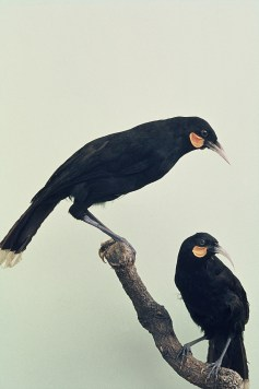 The New Zealand native bird 'huia' went extinct in 1907. Photographed by Kendrick, J. L. and with thanks from NZ Department of Conservation, Author provided