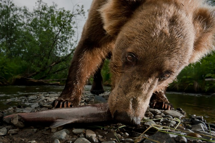 A brown bear snags a sockeye salmon in Alaska. In warm years, red elderberries ripen early and Kodiak bears leave streams full of salmon to eat them. Credit:Jonathan Armstrong, CC BY-ND