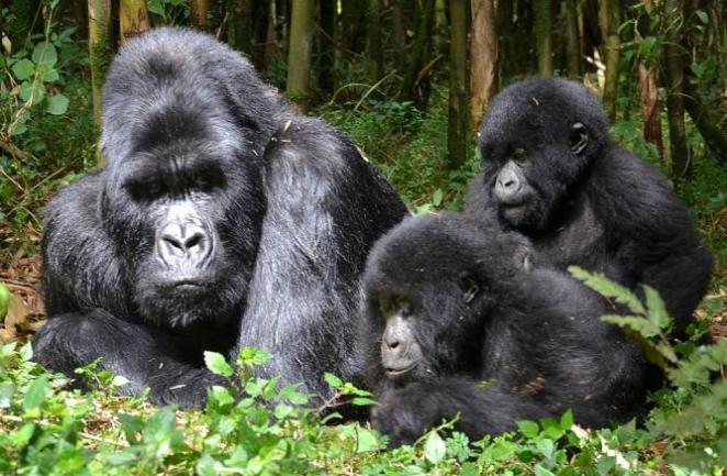 Gorillas in Rwanda I © Thomas Becker/Flickr