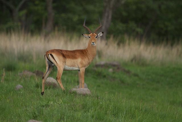 Impala in Harare I © Brian Gratwicke/Flickr