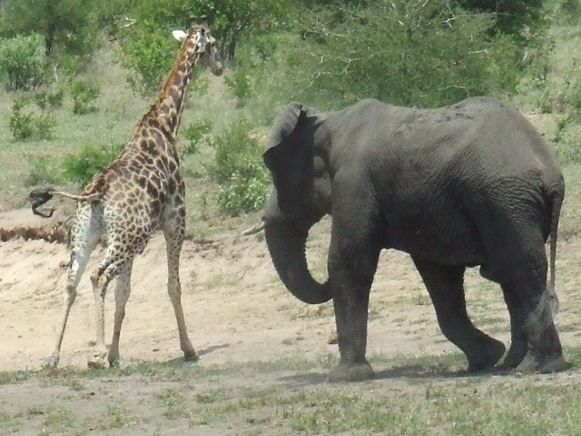 An African elephant chases a giraffe during musth | © Jacques S Gerber/WikiCommons