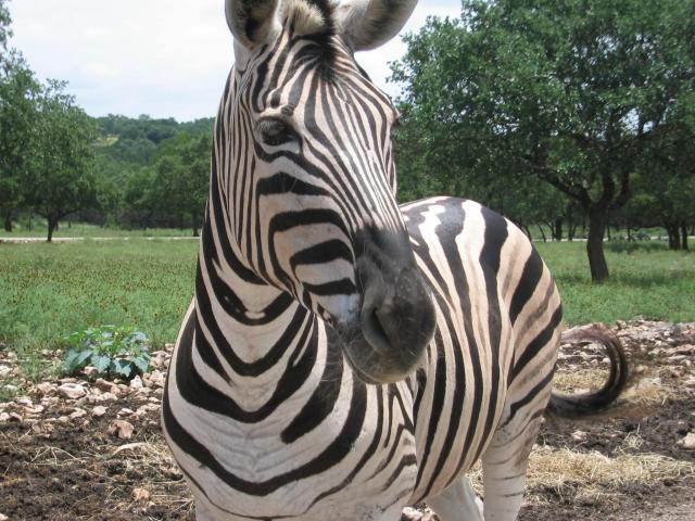 A zebra | © Lunkwill/WikiCommons