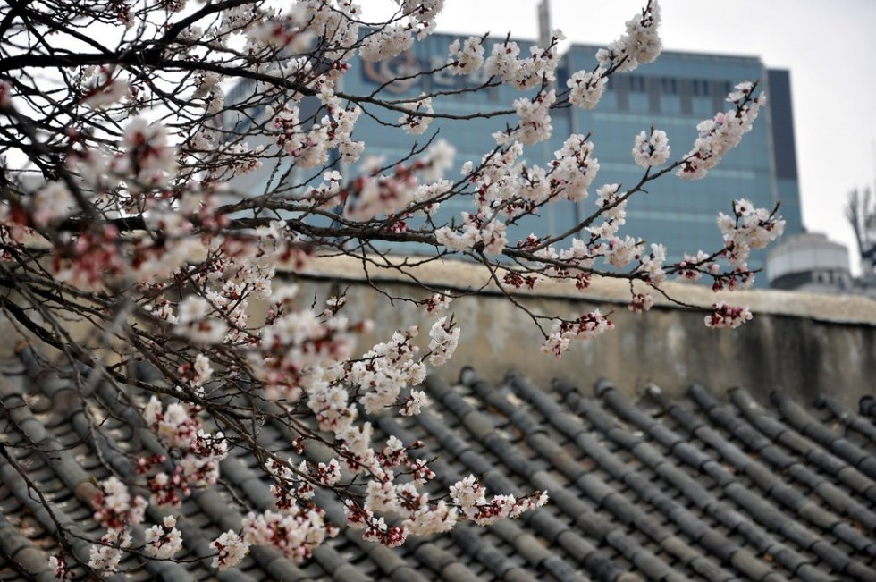 Cherry Blossoms in Seoul © gardenergp / Flickr