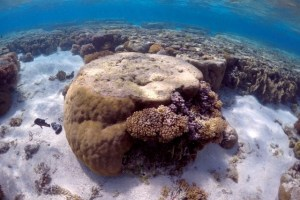 FILE PHOTO: A large piece of coral can be seen in the lagoon on Lady Elliot Island, on the Great Barrier Reef, northeast from Bundaberg town in Queensland, Australia, June 9, 2015. Credit: Reuters/David Gray/File Photo