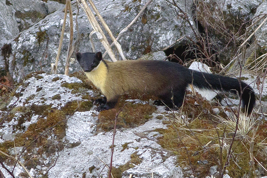 A yellow-throated Marten at the Pangolakha Wildlife Sanctuary, East Sikkim, in March 2016. Credit: Dibyendu Ash/Wikimedia Commons, CC BY-SA 4.0