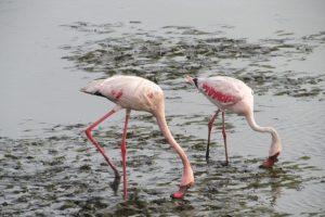 Lesser flamingos. Credit: Siddhesh Surve via Mongabay