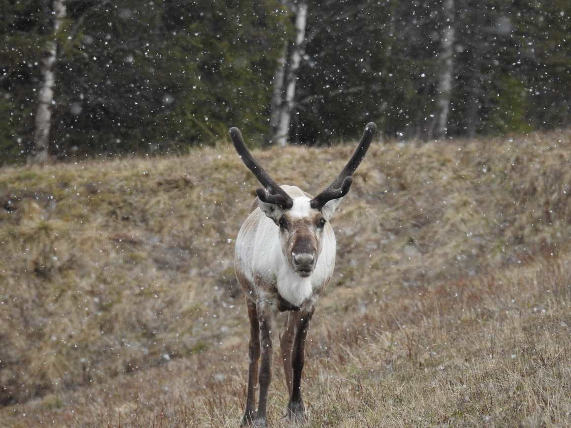 Reindeer seem to have suppressed their circadian systems completely to survive the Arctic. Credit: Bhanu Sridharan