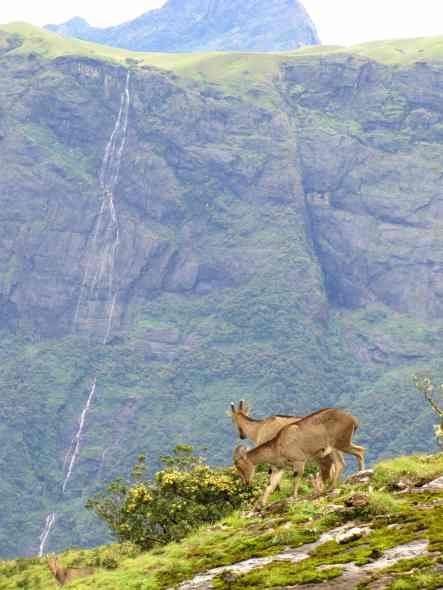 Nilgiri Tahr on the edge - grasslands have also been pushed to the edge and hence these animals also. Credit: Godwin Vasanth Bosco