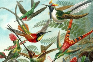 A colour plate illustration from Ernst Haeckel's 'Kunstformen der Natur' (1899), showing a variety of hummingbirds. Full image available here. Caption and credit: Wikimedia Commons