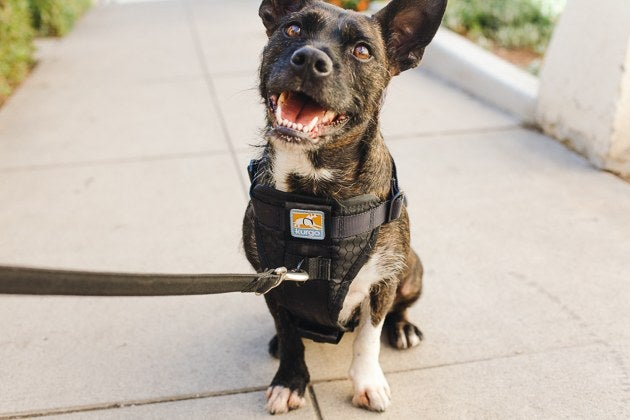 The Best Dog Harness  Reviews by Wirecutter   A New York Times Company A very happy looking brown and white dog wearing our harness pick