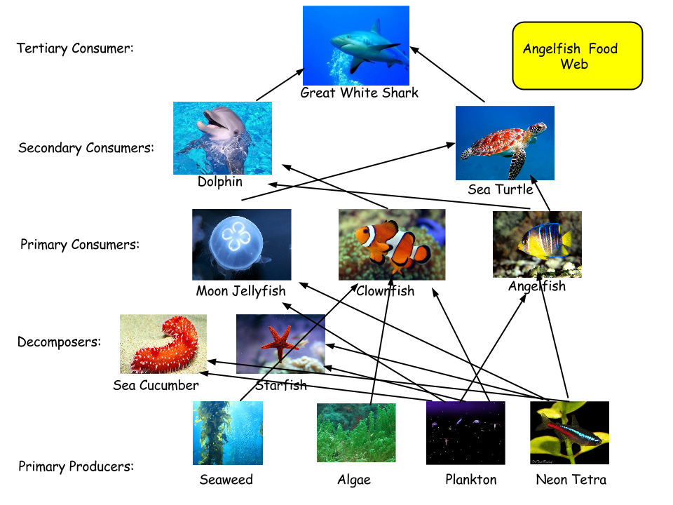 My Angelfish Food Web