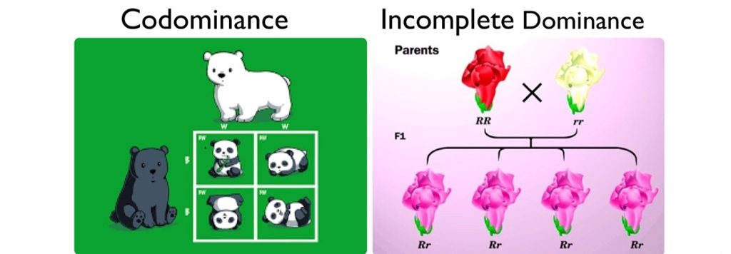 Codominance Vs Incomplete Dominance