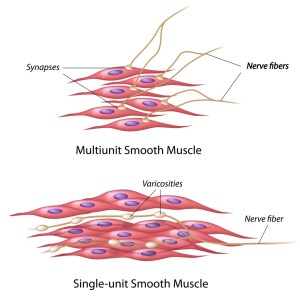 Smooth Muscle Cell Diagram (Bio 2)