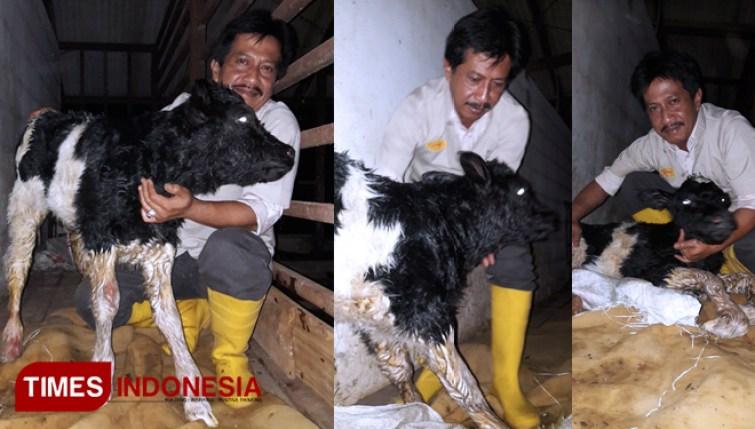 Anak-Sapi-Polbangtan-Malang-3.jpg