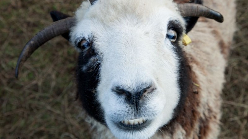 A Jacob sheep named Rachel, with what the Lewinskys call her 'happy face,' on their rental farm in Abbotsville, BC, Canada, in December 2015. (courtesy Gil Lewinsky/Mustard Seed Imaging)