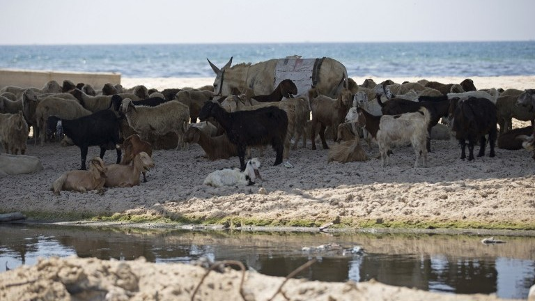 A picture taken on July 3, 2017, shows farm animals gathered under a bridge next to sewage-polluted waters on the beach in Gaza City. (AFP Photo/Mahmud Hams)